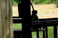 Vervet monkey on table at adjoining cabin #1 at Khwai